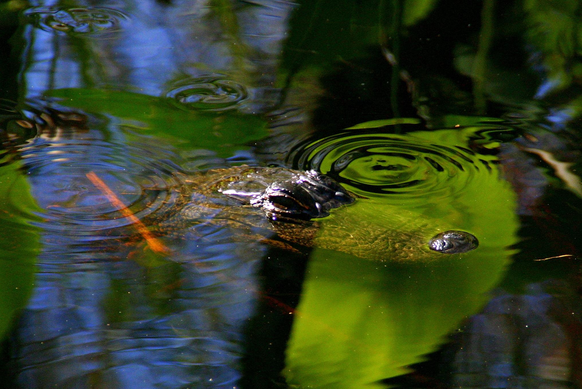Alligator at Bird Rookery