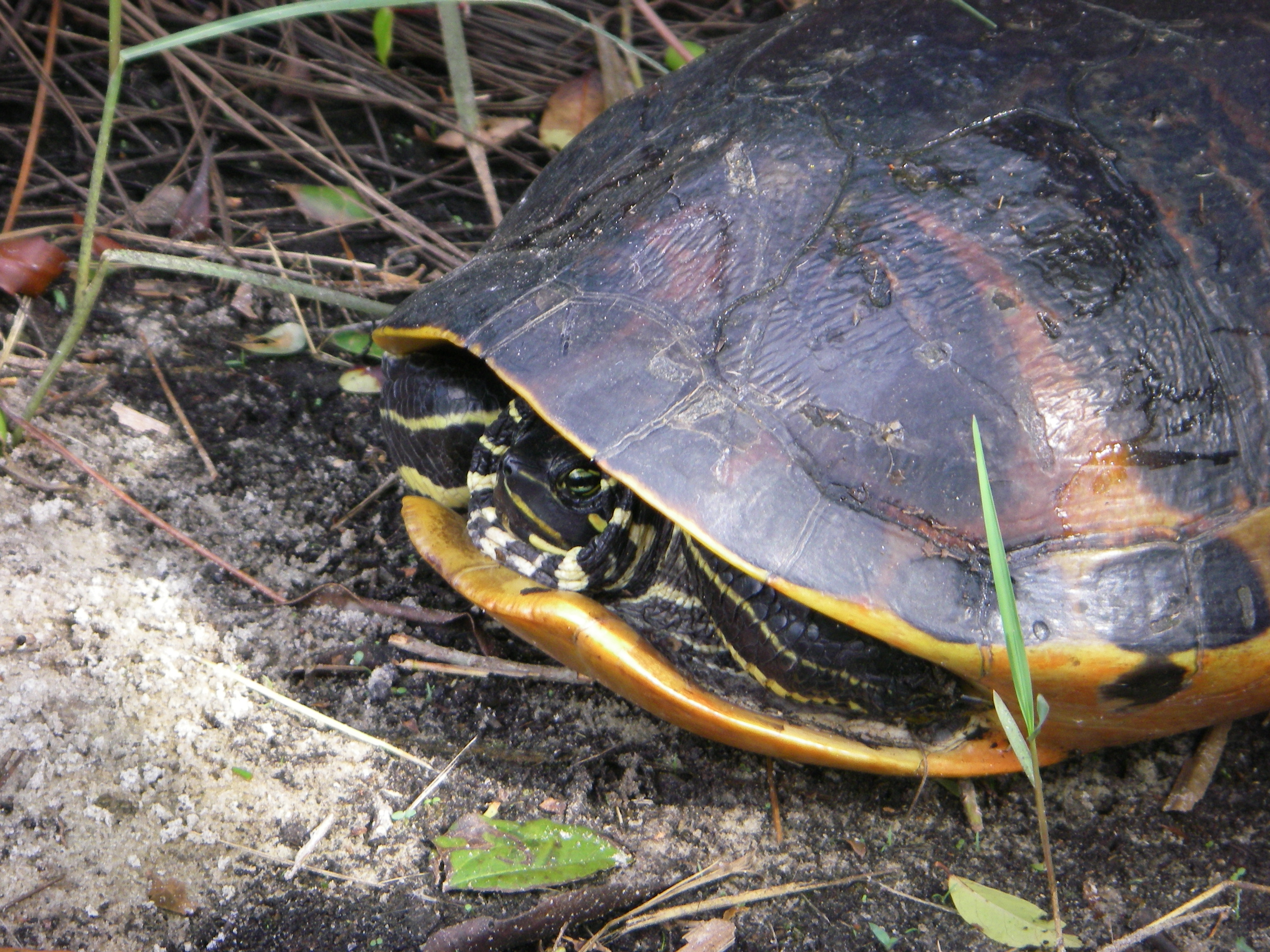 Turtle at Cypress Dome