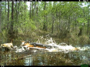 Alligator attacks raccoon (Photo by FFWCC)