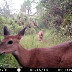 Whitetail deer on marsh trail
