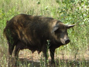 Wild Hog in Flint Pen Strand