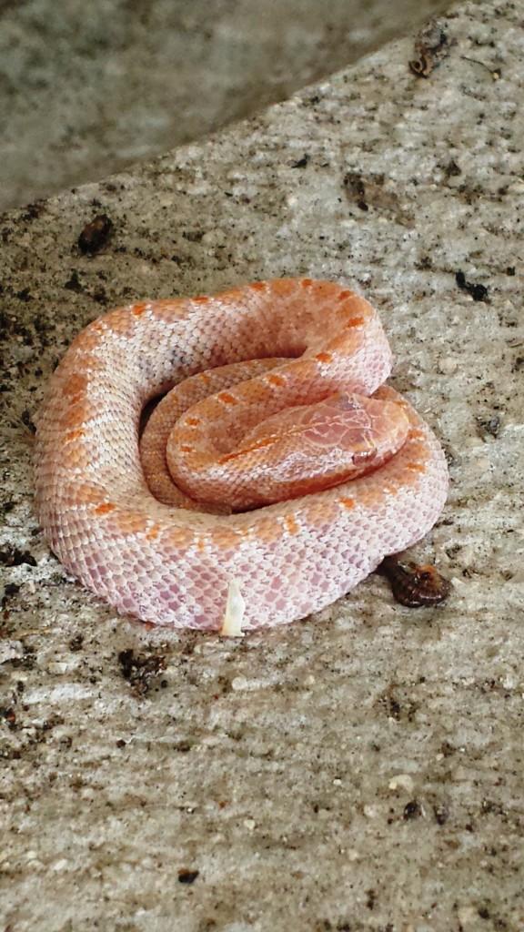 Juvenile amelanistic pygmy rattlesnake