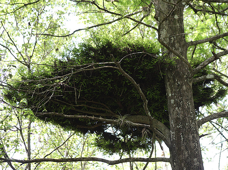 Witches broom in tree