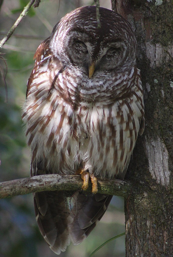 Barred Owl Perched by Dick Brewer