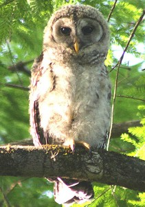 A young Barred Owl watches activity below.