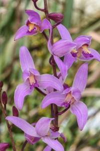 Beltia purpurea