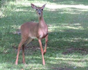 Deer at BRS