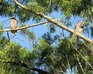 Barred Owls By Dick Brewer