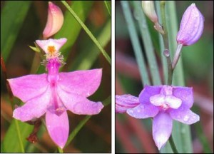 Grass Pink and Pine Pink Orchids by Dick Brewer