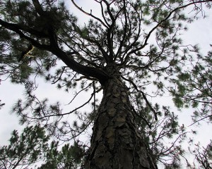 pine_0604