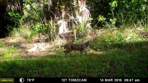 This bobcat has appeared at this location on many occasions.  His coloration is unusually dark.