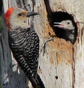 A young Red-bellied Woodpecker calls to its parent for food.