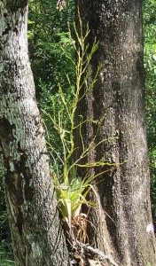 Tutriculata in tree