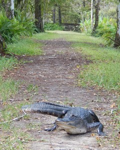 Gator on the BRS trail