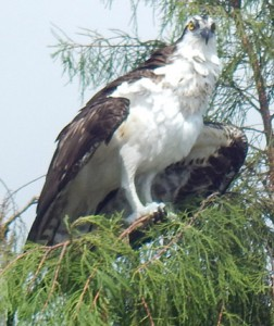 Osprey that landed on a cypress