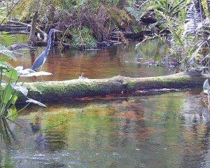 Tri colored heron at BRS