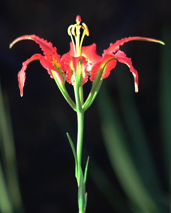 pine_lily_0907_3